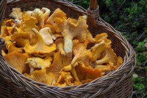 houbaření na šumavě